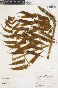 Cyathea divergens image