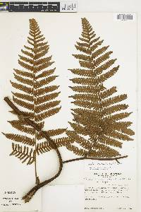 Cyathea williamsii image