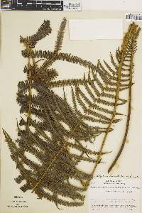 Thelypteris cheilanthoides image