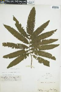 Thelypteris minor image