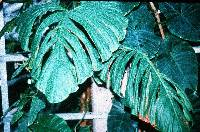 Philodendron findens image