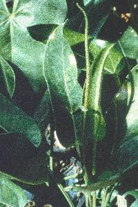Image of Anthurium crassiradix