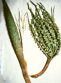 Bactris major image