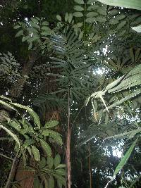 Image of Bactris gracilior