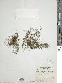 Hymenophyllum brevifrons image