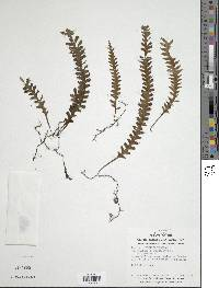 Trichomanes polypodioides image