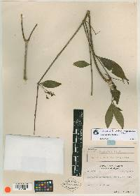 Image of Rauvolfia woodsoniana