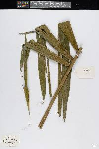 Bactris glandulosa image
