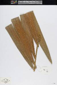 Bactris kunorum image