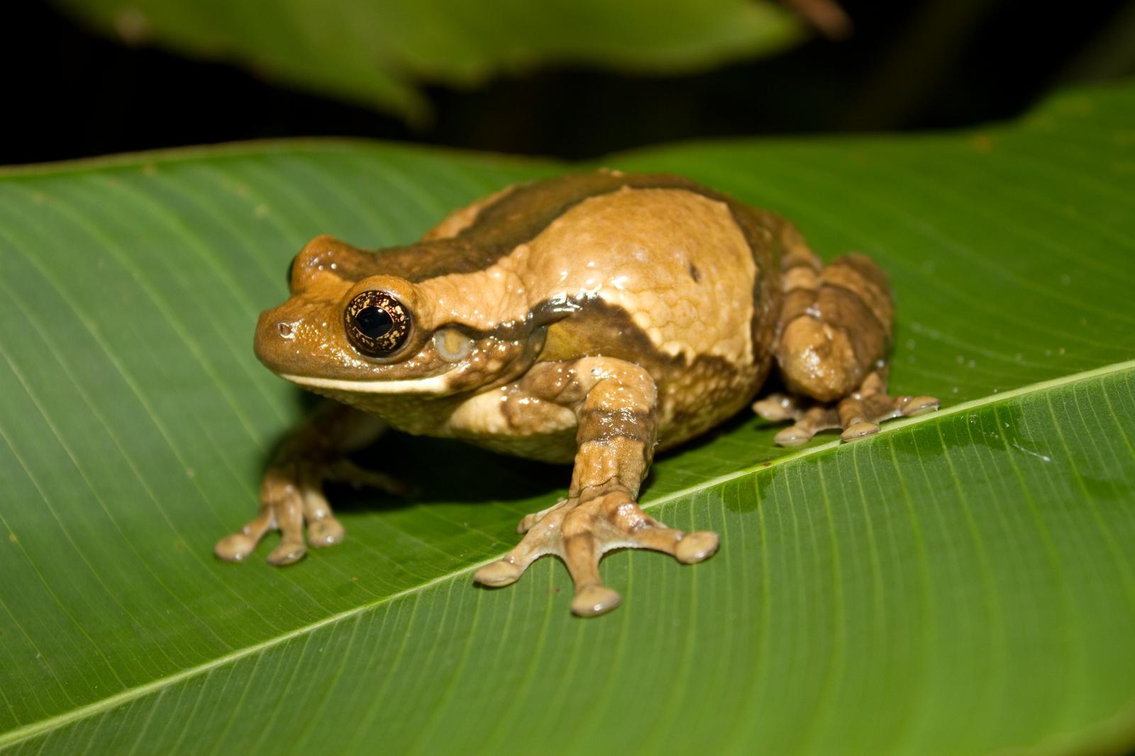 Trachycephalus venulosus