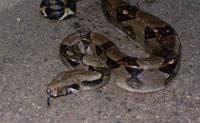 Boa constrictor image